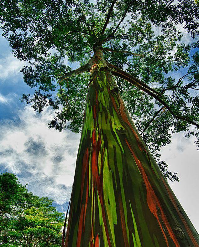 #درخت_رنگین_کمان علت این نامگذاری تنه ی رنگارنگ این درخت میباشد #مسافرنامه