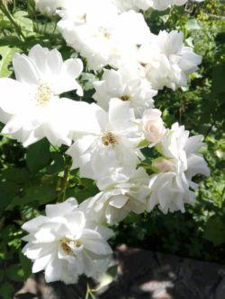 گل های زیبای روستای گردشگری روئین ، خراسان شمالی
