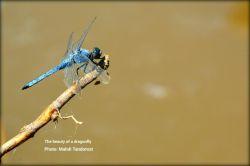 The beauty of a dragonfly زیبایی یک سنجاقک  ماکو مهدی تندرست         @mahditandorost