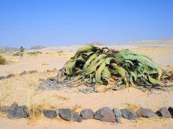 زشترین گیاه دنیا واقع در #نامبیا #مسافرنامه