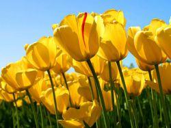 گل لاله تقدیم به دوستان