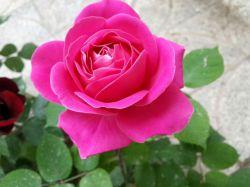 سلام میلاد با سعادت حضرت معصومه (س) و همچنین روز دختر رو تبریک میگم به تمام دختران و مادران سرزمینم این گل رو هم تقدیم میکنم به شما عزیزان روزتون مبارک❤❤❤