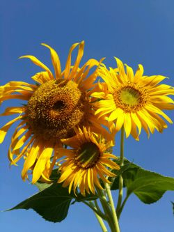 گلهای آفتاب گردان باغمون