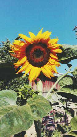 آفتاب من ! نیم نگاهی از تو کافی ست ؛ تا سر ، بلند کند آفتاب گردان ِ پژمردگی های من ..