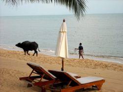 جنگ بوفالوها در کو ساموئی  وقتی صحبت از گاوبازی به میان میآید یا صحنهای از دویدن گاوهای وحشی میان خیابانهای اسپانیا در ذهن نقش میبندد و یا مسابقه گاوبازی در یک فستیوال شهر تگزاس و مسلما هیچ یک صحنههای خوشایندی نیستند. علاوه براین احتمالا اصلا فکر نمیکنید که در تایلند نیز شاهد جنگ بوفالوها در جزیره کو سامویی باشید. به ویژه با توجه به خوی آرام و دوستانه مردم تایلند این قضیه کاملا تعجب برانگیز است.