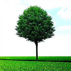 تک درخت تفلکی تنها مونده