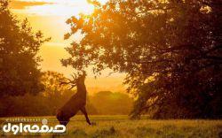 گوزن جنگلهای یورکشایر، انگلستان