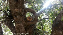 تصویری زیبا ونادراز درخت بنه.جنگلهای چنارو .فارس. #شاخه ازدوطرف به تنه چسبیده است.