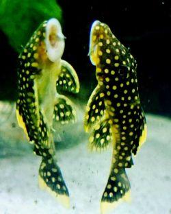 گربهماهی نام گروه بزرگ و گوناگونی از پرتوبالگان است. نامگذاری آنها به گربهماهی وجود سبیلهایی اطراف دهان آنهاست. این ماهی در اقیانوس هند، مجمع الجزایر مالاریاو، سواحل شمالی دریای عمان وبخش شرقی خلیج فارس تا بوشهر میباشد.