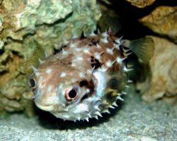 پوفر (پافر، بادکنکی، صندوق ماهی) از نظر شکل ظاهری از سایر گونه های زینتی متفاوت هستند. نام خود را به دلیل داشتن قدرت دفاعی در برابر تهدیدات شکارچی از طریق متورم شدن بدنشان گرفته اند. بومی كشورهای جنوب و جنوب شرق آسیا، دمای مطلوب 23تا26 درجه سانتیگراد.