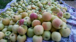 #پاییز#سیب