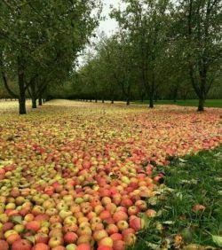 یه کشاورز با سلیقه ارومیهای اینجوری سیبهای درختان باغشو روی زمین پهن کرد تا باعث جلب توجه رهگذران و مردم و احتمالا مسئولین به مشکلاتشان شود