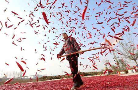 یک کشاورز در روستایی در استان آنهویی چین در حال خشک کردن فلفل قرمز