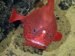 انگلر به دلیل وجود زایده بالای سرش که برای به اشتباه انداختن ماهی ها استفاده می کند ماهیگیر نامیده میشود، بدلیل شکل ظاهری قورباغه ماهی نیز گفته میشود. همانند آفتاب پرست قابلیت تغییر رنگ بدن را دارند. برعکس ظاهر خود بسیار آرام و ساکن هستند.