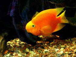 پروت فیش (طوطی ماهی) ماهی است که به آن Man-Made Hybrid می گویند و در طبیعت وجود نداشته بلکه با دستکاری ژنتیکی ایجاد شده است. مبدا تولید پروت را جفت کردن ماهی های سوروم و یکی از سیکلید های امریکای مرکزی می دانند.