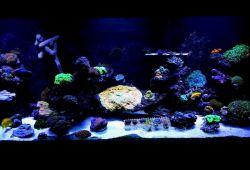آکواریوم مرجانی یا ریف، هر کدام از خانواده ی مرجان ها به صورت طبیعی موادی را از خود دفع می کنند که مانع از رشد سایر مرجان ها در نزدیکی آنها می شود. علاوه بر این هر کدام از خانواده های مرجان ها نیازهای خاصی را دارند که امکان تامین همه ی آنها به صورت کامل در یک آکواریوم میسر نیست.