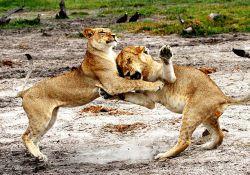 فیلم مستند بازگشت قاتلین غول پیکر: شیرهای سلطان آفریقا  www.filimo.com/m/gWTcU