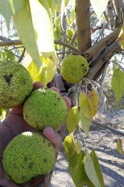 """درختی به نام """"نان""""، از خانواده توت که خیلی میوه هاش درشته به اندازه پرتقاله، تو تویسرکان ۲ تا ازش هست یکی تو مسجد ابوالفضل سرابی یکی هم روبروی گلزار شهدا، الان میوه هاش رسیدن"""