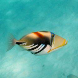 ماشه ماهی ها(پیکاسو) کم تحرک که در اطراف، داخل جزایر مرجانی یا میان جلبكهای دریایی و تقریبا انفرادی زندگی میكند. چنانچه وحشتزده شود صدای وز وز مشخصی ایجاد میكند. تا30سانتیمتر رشد میکند، ph بین 4تا8، دمای مطلوب 24تا26 درجه سانتیگراد.