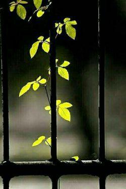 ایمان دارم بخدایی که فرمان دادبه پیچکی تابگردد،به دورنرده ی سرد وبی احساس تا زیباگرددبرای دیدگان من وتو...دوستت دارم خدای من که تودرآسمانی ومن زمین ...من همان پیچک نحیفم که به دورسختی وسردی روزگارمی پیچم به امیدرسیدن به تودرآسمان آبی احساس...دوست داشتن وامیدبهترین هدیه خداست