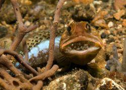 آرواره ماهی با حفر تونل در بستر شنی اغلب اوقات در دهانه ی آن ایستاده به اطراف خیره میشود و هر شی متحرکی از مقابل چشمانش عبور کند با نگاه آن را تعقیب میکند. این ماهی با پرتاب کردن سنگ ریزه ها و شن ها به سمت سایر ماهیان از تونل خود محافظت میکند.
