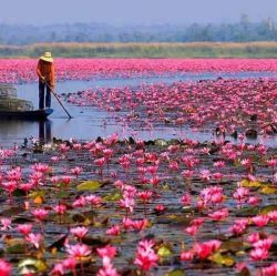 دریای نیلوفرهای سرخ تایلند ...   این دریاچه زیبا به دلایل متعددی برای مردن تایلند خاص و مهم است. این دریاچه منبع اصلی رودخانه پائو حساب می شود که معمولا آب آشامیدنی مردم منطقه از آن تامین می شود. همچنین گل لوتوس یا نیلوفر برای تایلندی ها گل مقدسی محسوب می شود.