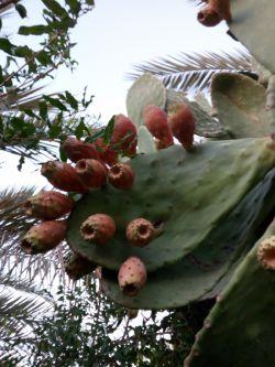 میوه رسیده کاکتوس