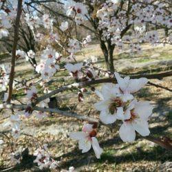 #شکوفه های #درختان در #رستاق #داراب