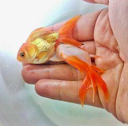 ماهی قرمز (گلدفیش، ماهی طلاهی، ماهی گلی، ماهی حوض) گونهای ماهی از سردهٔ کپورچهها است. همهچیزخوار و زیستگاه اصلی آن در سیبری و جنوب شرقی آسیا است. در قرن ۱۷ به عنوان ماهی تزئینی وارد اروپا شده و پرورش این ماهی معمول گشته است.