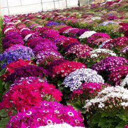 اینم گل های گل خونه خودم تقدیم به همه مامان های ایران زمین