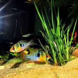 رامیزی یکی از زیباترین ماهی های مربوط به خانواده سیکلیدها می باشند، آنها بومی آمریکای جنوبی و زیباترین رنگ آمیزی را دارند. رامیزی که نام رایج آنها میباشد میتواند حداکثر طول ۸ سانتیمتر را در شرایط خوب به دست آورد.