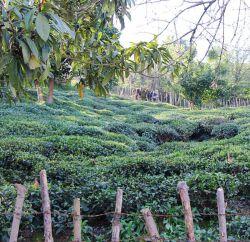 مزرعه #چای_ایرانی