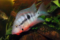 ماهی دهان آتشین بومی آمریکای مرکزی و همه چیز خوار است. با باز کردن سر پوش آبششی، ماهیان دیگر را از قلمرو خود دور می کند. در حدود ۱۲ تا ۱۷ سانتیمتر رشد می کند. آبی با اسیدیته ۶.۵ تا ۸ ، سختی ۷ تا ۱۵ و دمای مطلوب ۲۴ تا ۲۷ درجه ی سانتیگراد می باشد.