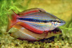 ماهی رنگین کمان بومی جنوب شرقی آسیا و استرالیا، دارای تنوع رنگی بسیار زیبا، صلح جو، حساس، علاقمند به زندگی گروهی و همه چیز خوار میباشد. حدوداً تا ۱۲ سانتیمتر رشد می کند. دمای مطلوب ۲۴ تا ۲۸ درجه سانتیگراد، پ هاش ۶ تا ۷ و سختی بین ۸ تا ۱۲ میباشد.