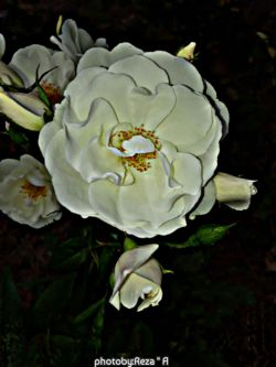آخر شبه...این گل هم تقدیم به همتون