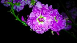 گل شب بو