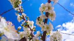 شکوفه های آلوزرد