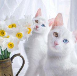 گربههای Iriss و Abyss زیباترین گربه های دوقلوی جهان نام گرفتهاند که چشمان آنها به گونهای عجیب دارای دو رنگ متفاوت اما بسیار زیباست !