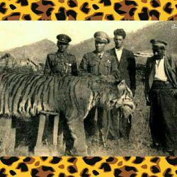 آخرین ببر مازندران كه در سال 1940 شكار شد ببر مازندران، که به آن ببر کاسپین نیز می گویند، یکی از گونه های گربه سانان بوده که در ناحیه گستردهای از غرب چین تا سواحل دریای سیاه میزیست.
