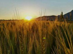 مزرعه گندم و غروب آفتاب