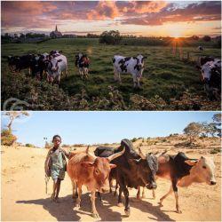 اتیوپی 54و سودان 42میلیون گاو دارد،ولی از کشورهای فقیر دنیا هستند! هلند 11میلیون گاو دارد،ولی لبنیات جهان را تامین میکند! مشکل گاوها نیستند،مشکل گاوهایی هستند که اقتصاد را اداره میکنند! https://www.bazarazerbaijaan.com/