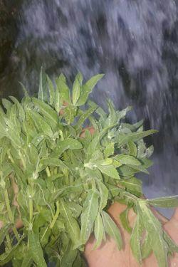 دیروز چیدمشون .اینا پونه هستن.کنار رودخونه چیدم .بوی خوبی میدن .واسه سالاد شیرازی هم عالیه.