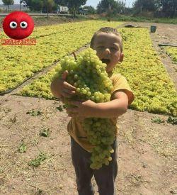 به این میگن خوشه انگور بقیش سوسول بازیه