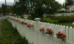 کشورسوثد عکس ملاحظه کنی بعدازچیدن سیب گلابی ازدرخت بقیه جهت مصارف مردم مجانی هست