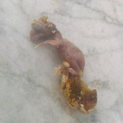 عکس جنین مرده مرغ عشق در تخم  جنین مرده در تخم مرغ عشق  ۹۷/۷/۱۱