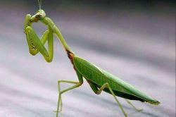 بی رحم ترین حشره دنیا حشره دعا خوان ماده است هنگامی که حشره ماده از همسرشباردار میشود، بعد از جفتگیری به آن نیش میزند و همسر نیمه جان غذای لذیذی برای ماده میشود!!