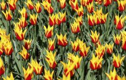 باغ های گل لاله در هلند