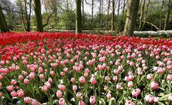 باغ گل لاله هلند