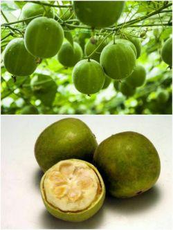 شیرین ترین ماده جهان قند نیست! عصاره میوه ای بنام Monc حداقل 300 برابر شیرین تر از قند می باشد. نکته جالب در مورد این میوه آن است که شباهت فوق العاده ای به گردو دارد
