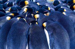 شاید عجیب به نظر بیاد، ولی پنگوئنها با چسبیدن به همدیگر از سرمای قطب جان سالم به در میبرند.  گفته میشود آنها با این کار میتوانند در دل قطب تا 30 درجه سانتیگراد گرما ایجاد کنند!